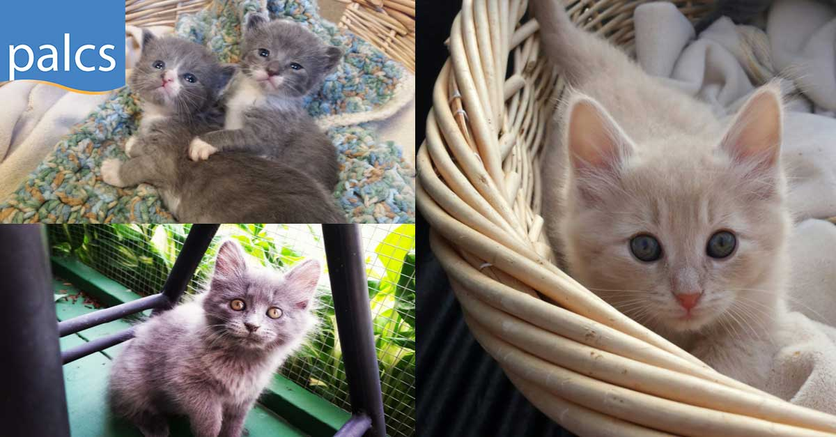 Students foster cats and kittens, kittens in baskets