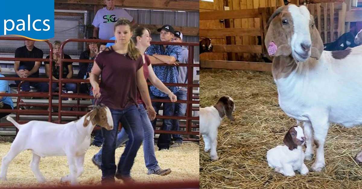 grace-goats